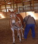 northeast draft010002  Mule i worked on at clinic I did in Bethel Ohio